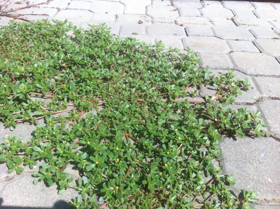 Plevel šrucha zelna